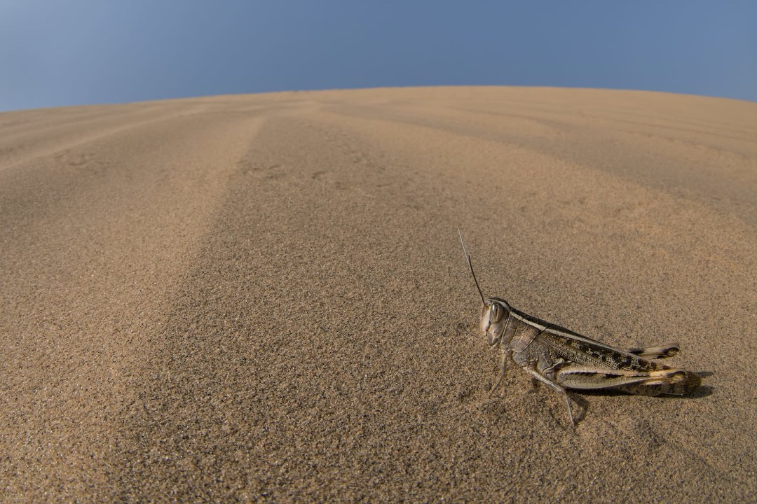 Swarmageddon: How Lonely Grasshoppers Turn Into an Army of Locusts