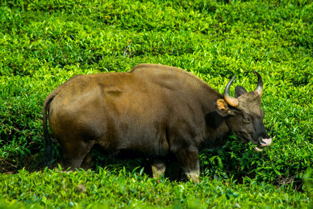 Gaur Shift Out of Forest Homes