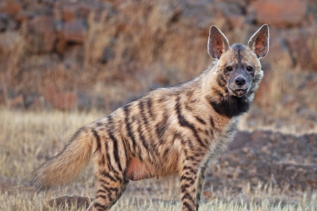 Quiz: The Hyena