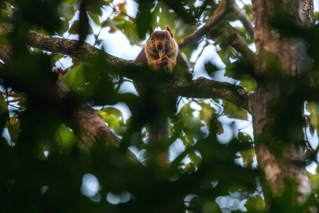 Hop, Skip and Jump: The Giant Squirrels of India