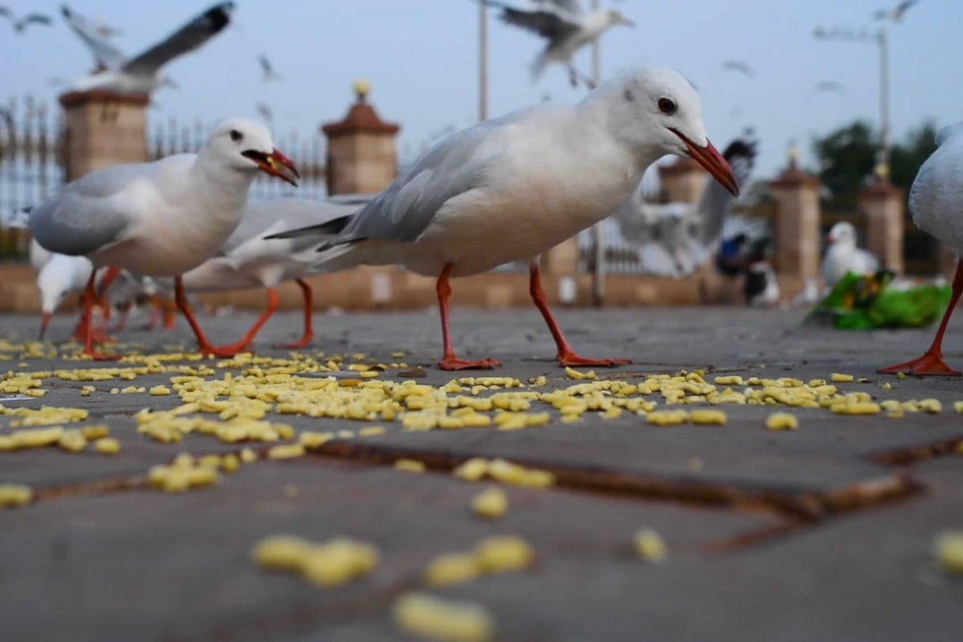 Junk Food: Why Migratory Gulls are Snacking on the Gujarati Gathiya