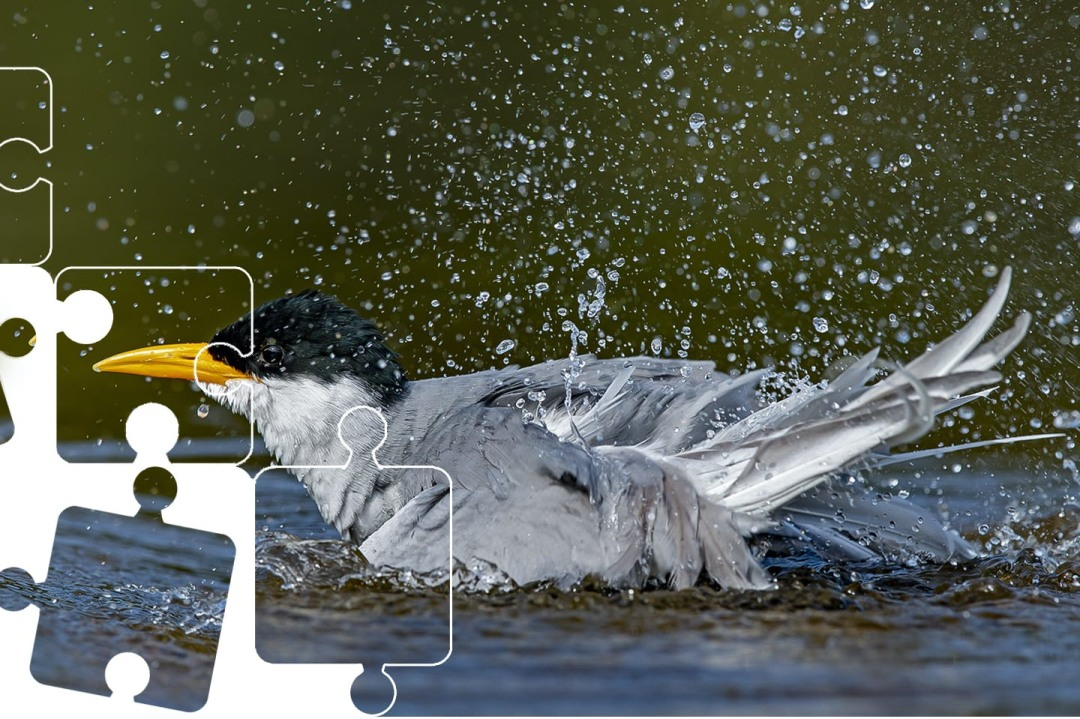 Wildlife Puzzle: River Tern