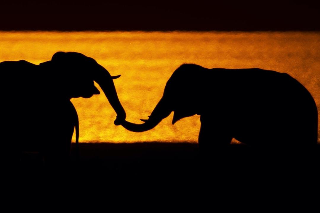 Language of Giants: The Intriguing World of Elephant Communication