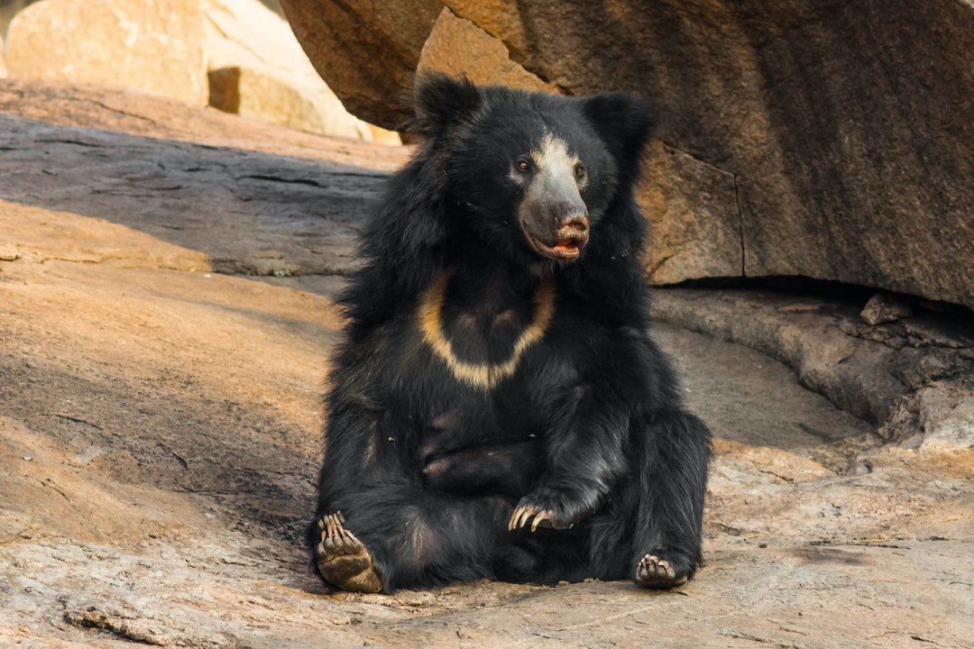 Mount Abu's sloth bears tread on thin line
