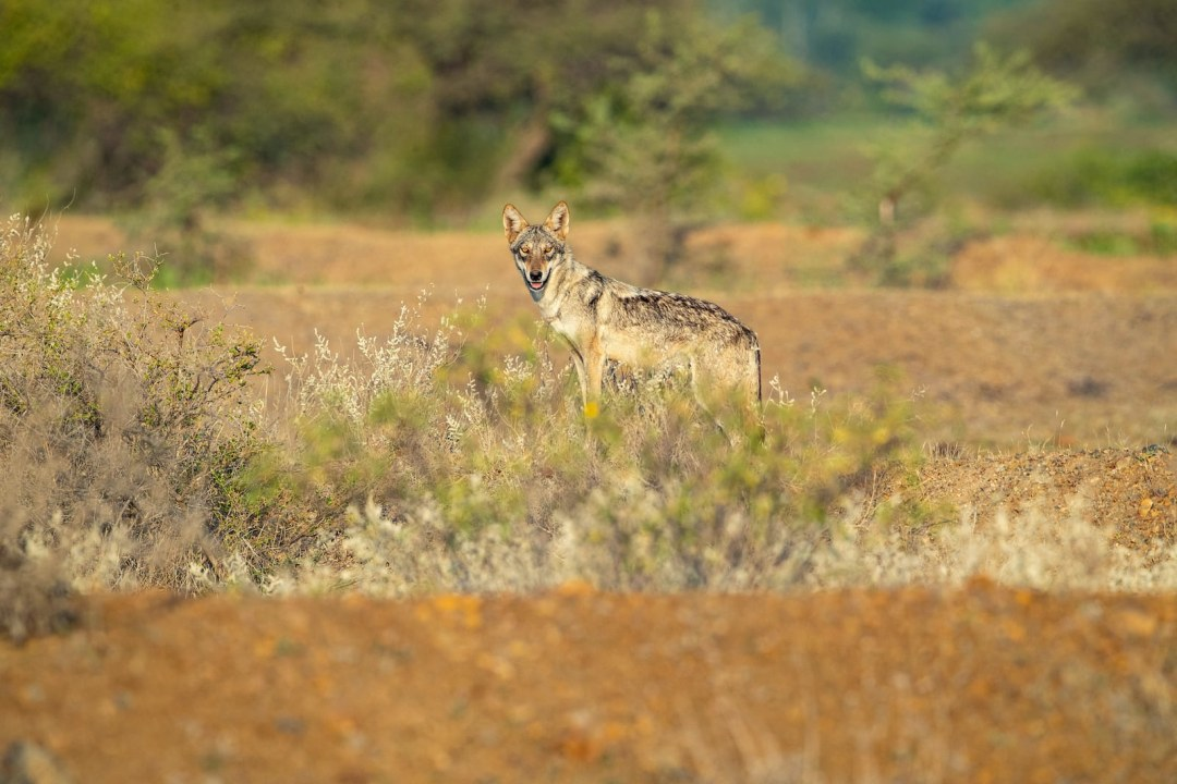 Indian Grey Wolf: Ghosts of The Grasslands