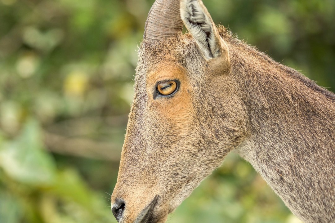 Nilgiri Tahr: Facts, Habitat, Threats