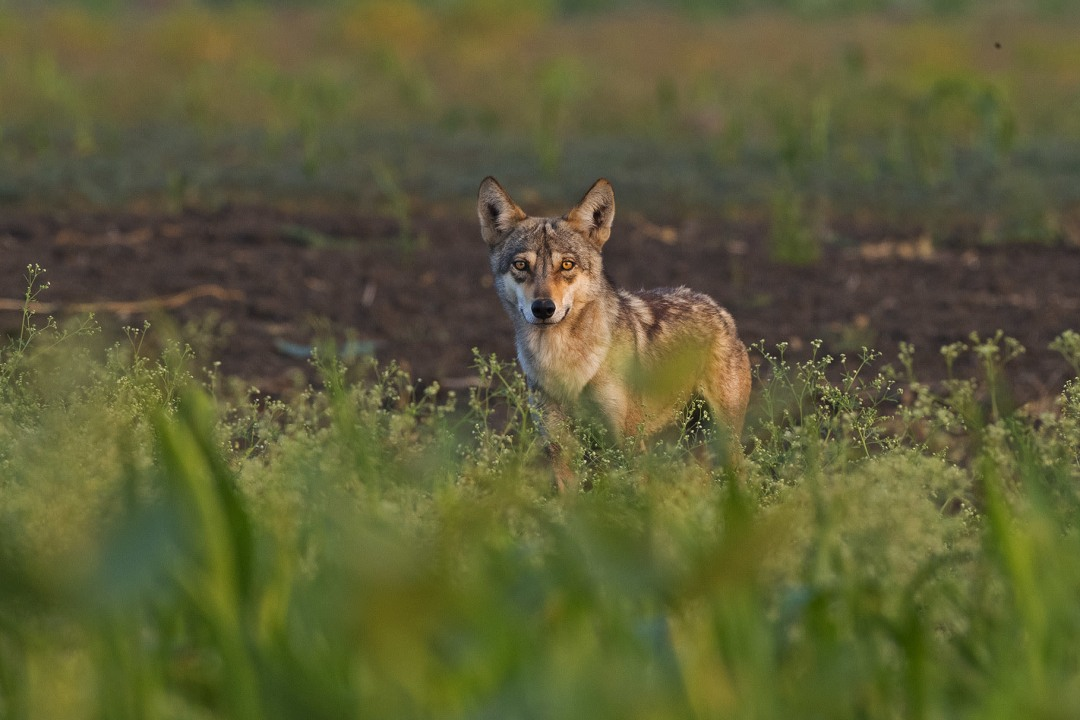 Disappearing Predators: Wolves of the Deccan