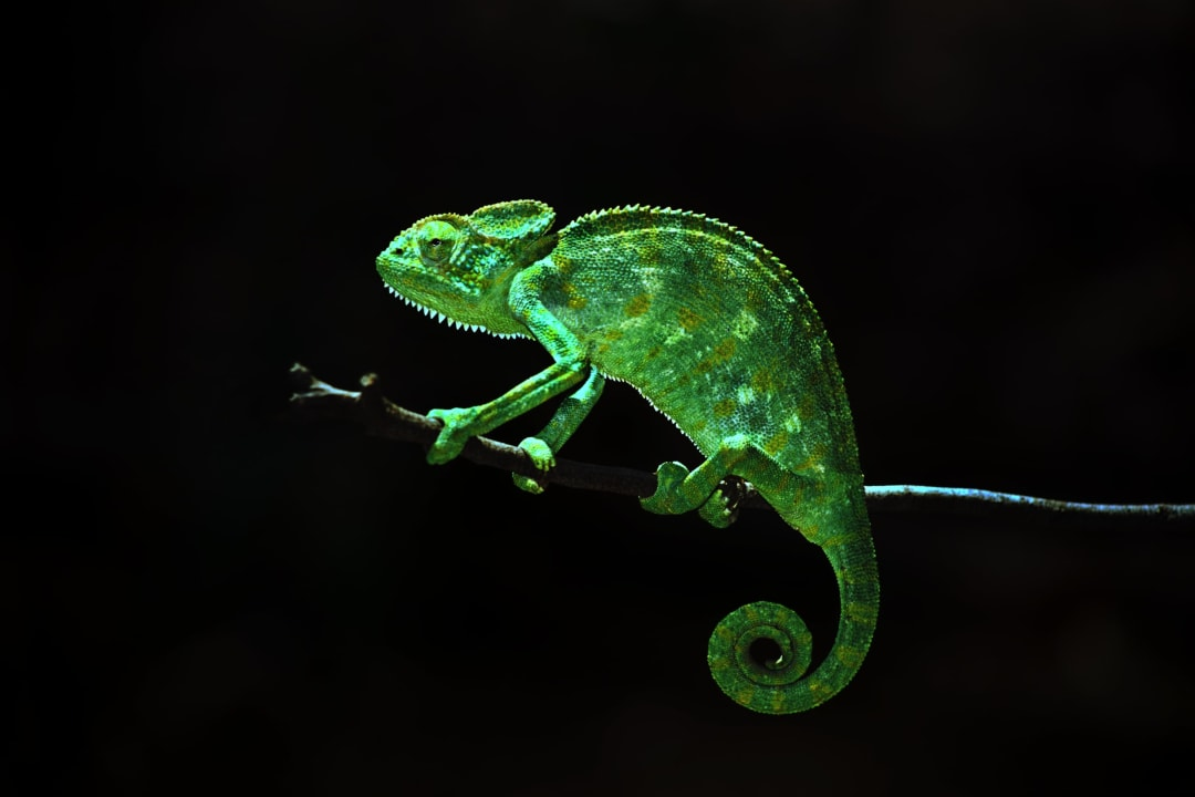 Indian Chameleon and the Art of Disappearing
