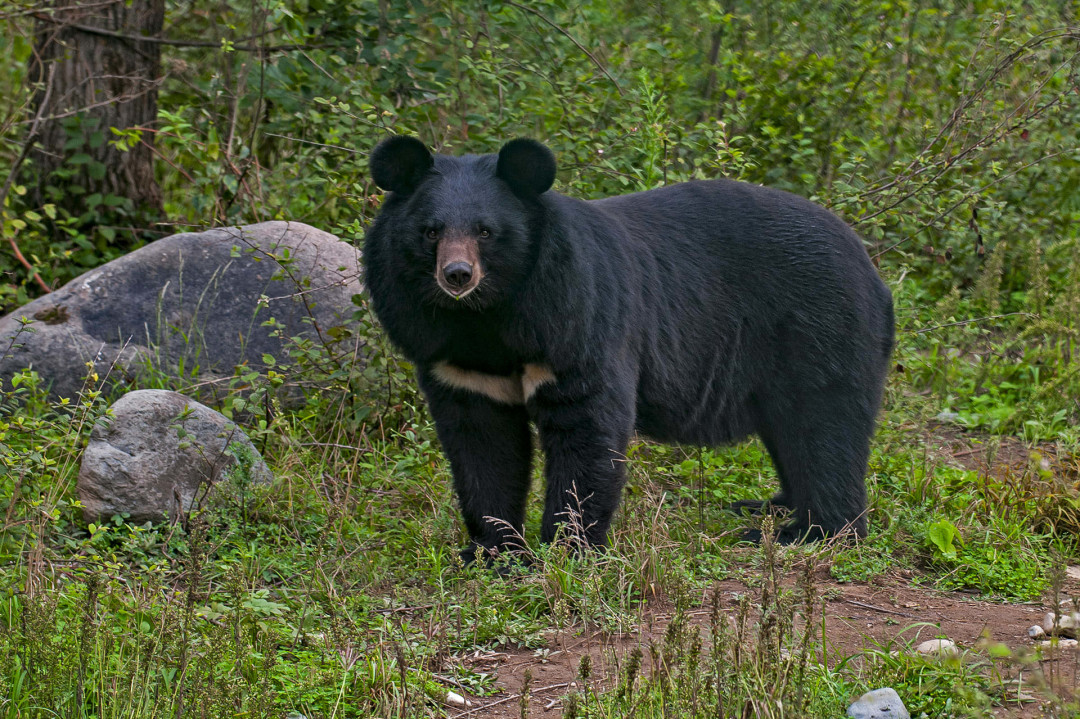 Baloo Noir:  The Asiatic Black Bear Goes to Town
