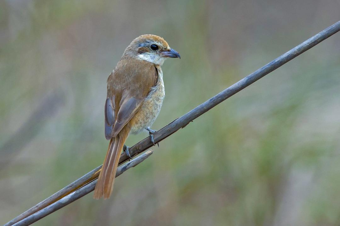 Brown Shrike: Facts, Habitat, Migration