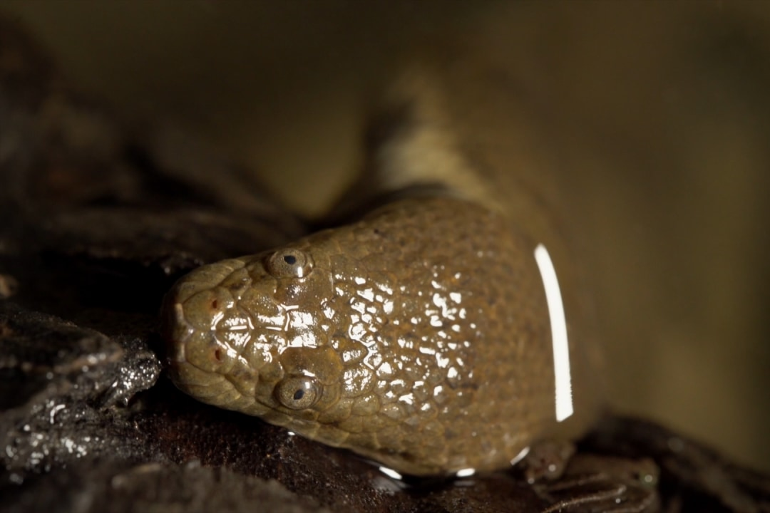 A Dog-Faced Water Snake's Murky Life