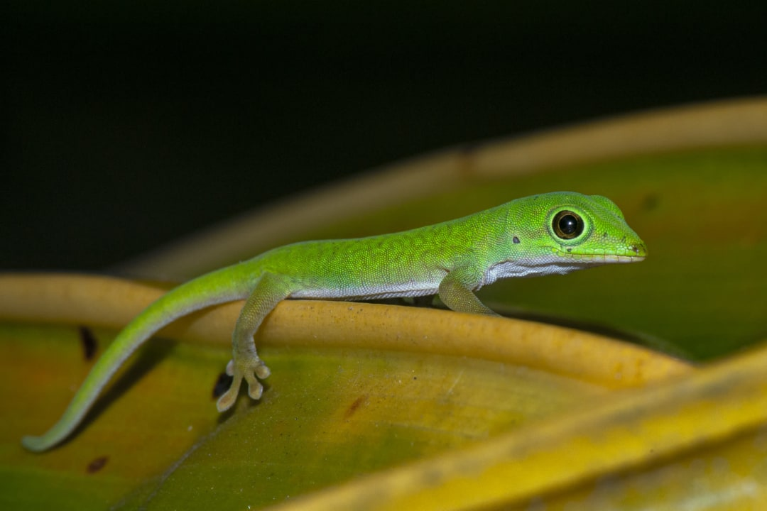 Andaman Day Gecko: Fleet-footed Flecks of Green