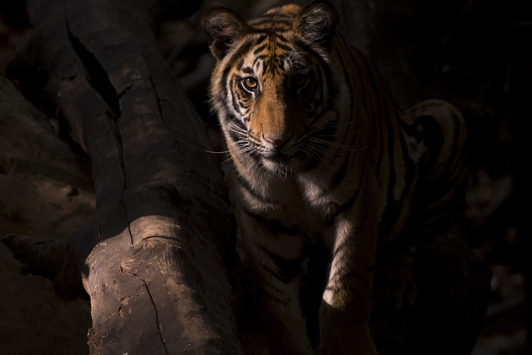 Tiger Story: Lost Stripes of Gujarat