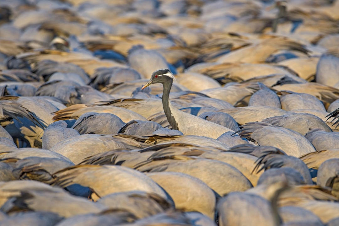 Demoiselle Cranes and the Great Kheechan Mela