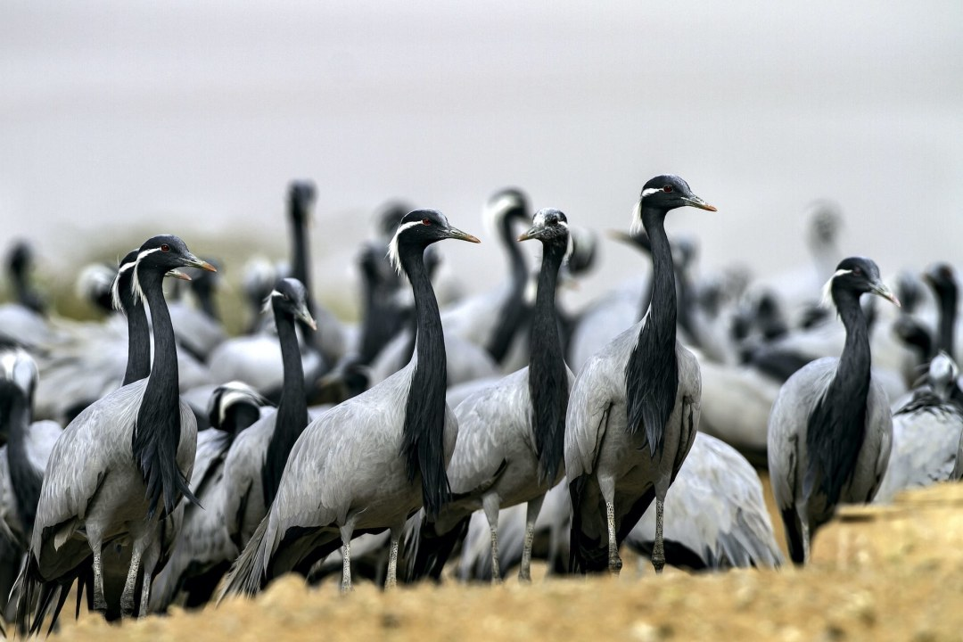 Saving Cranes: Why We Need to Protect These Tall Wading Birds