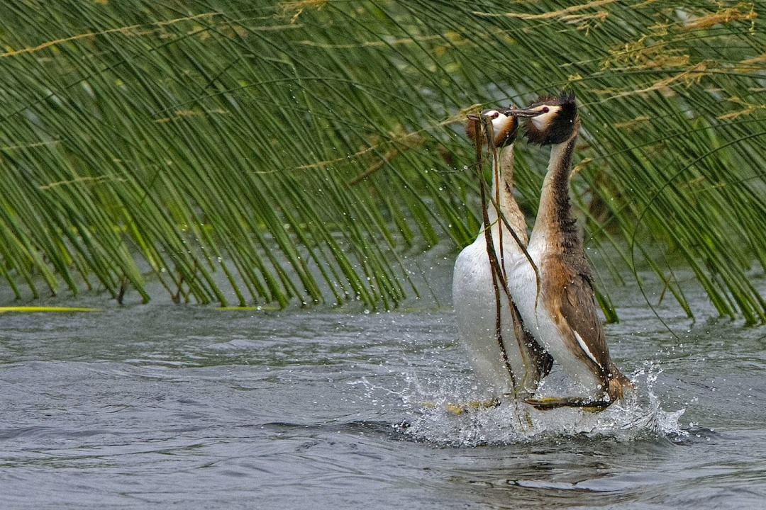 Waltz on Water: Courtship of the Great Crested Grebe