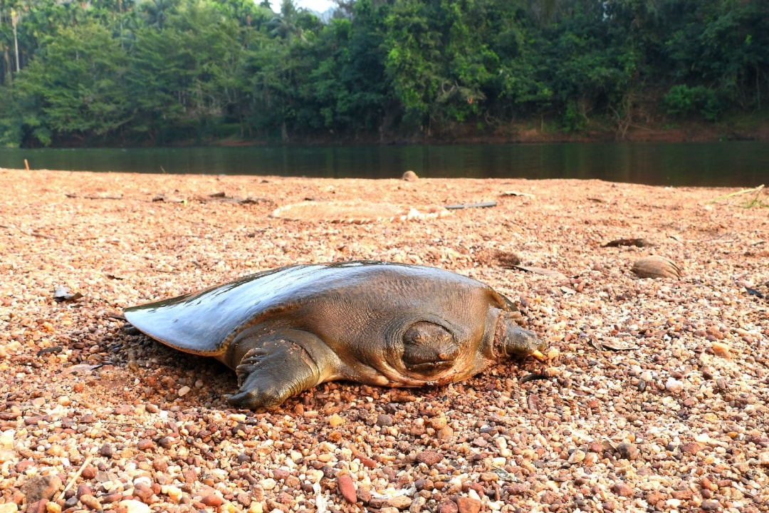 Vanishing Act: The Slow Decline of Cantor's Giant Softshell Turtle