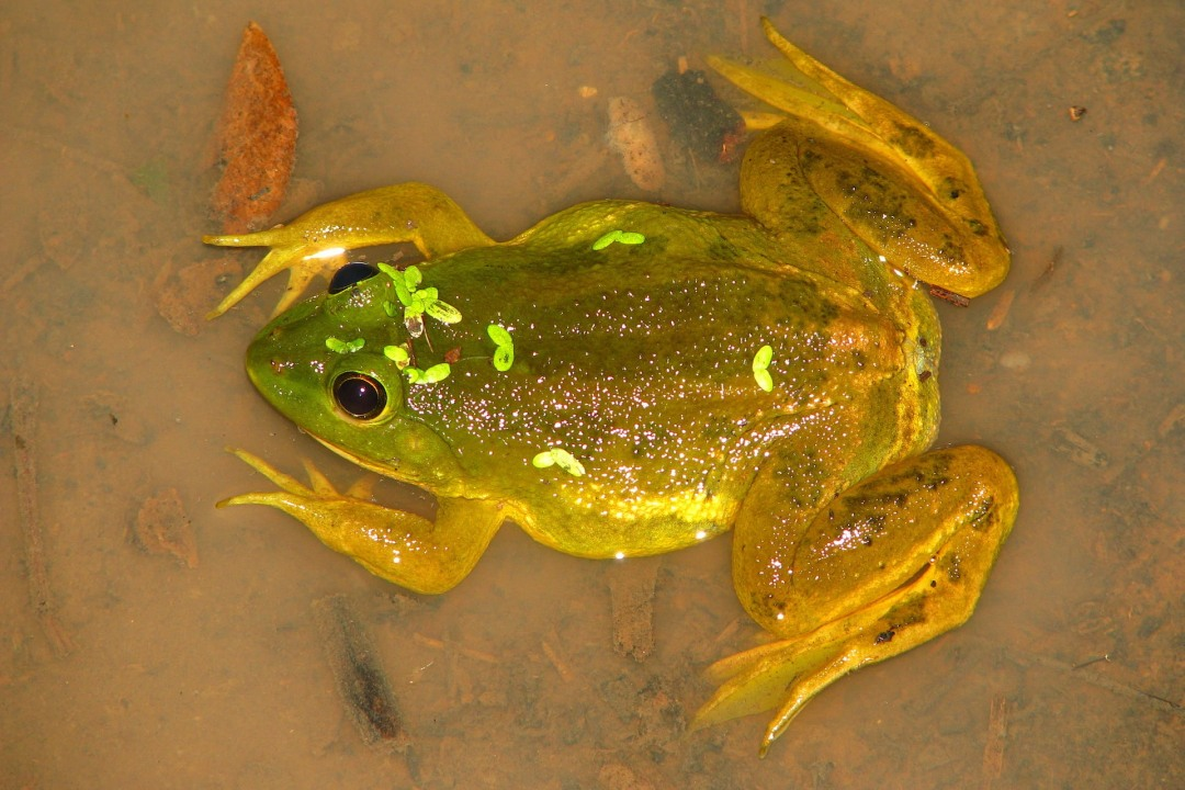 Skittering Frogs: Look Closely, They're Floating on Water Everywhere