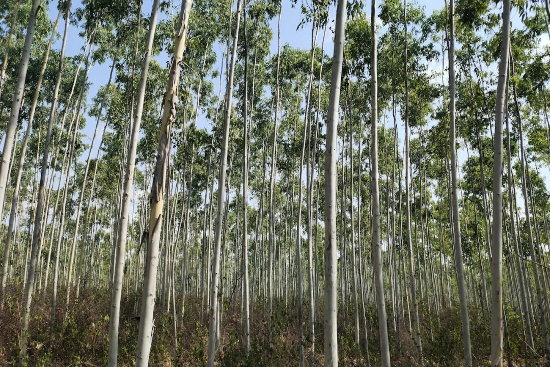 Economy or ecology? Eucalyptus plantations in coastal Andhra raises concern