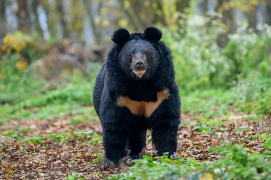 Poaching threatens Asiatic black bear in Arunachal Pradesh