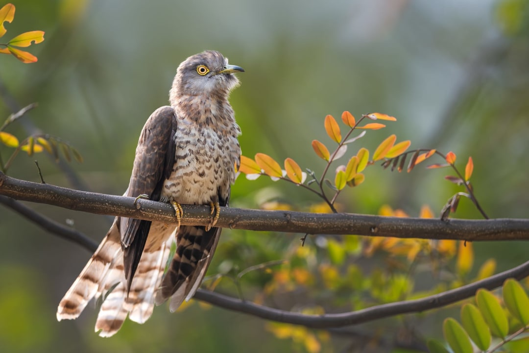The Rousing Call of the Common Hawk-Cuckoo