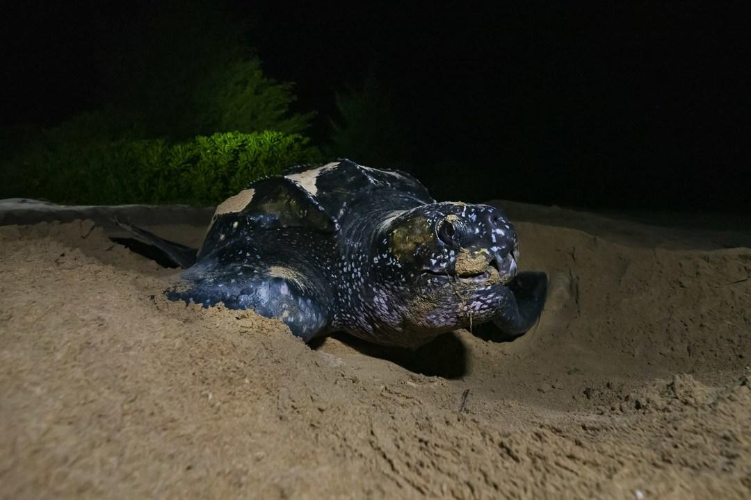 Leatherback Turtle: Facts, Habitat, Migration