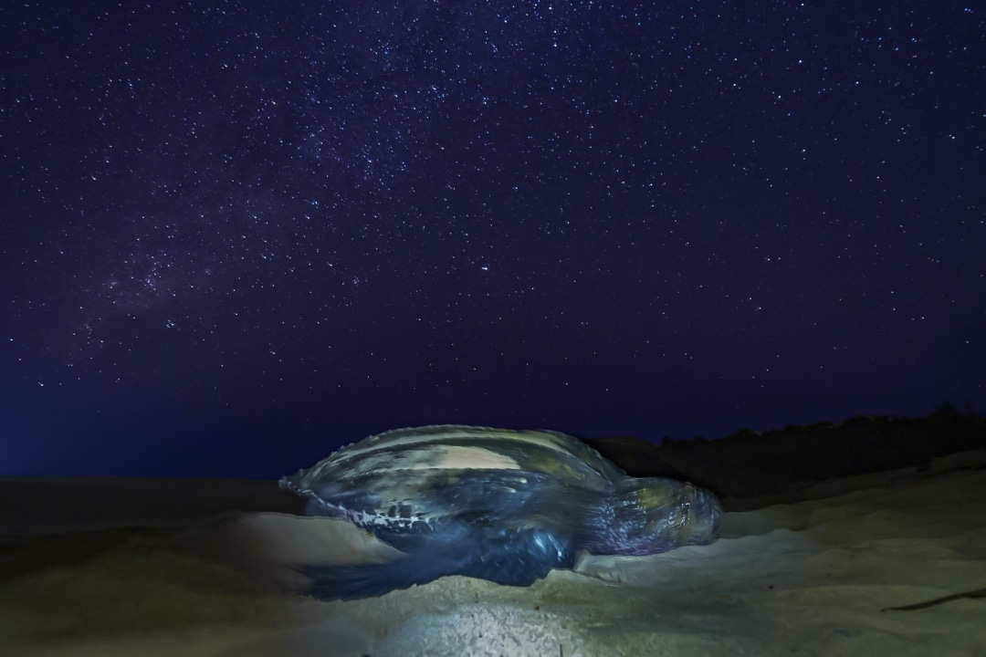 Written in the Stars: A Night with the Leatherback Turtle