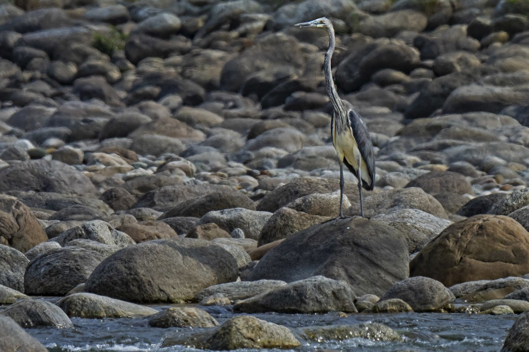 Elusive White-bellied Herons Make a Rare Appearance