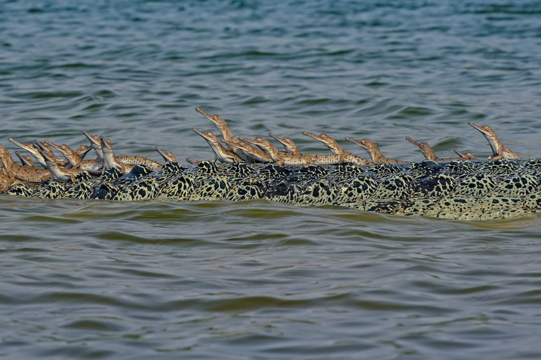 Gharials Lose Nesting Sites at Katerniaghat