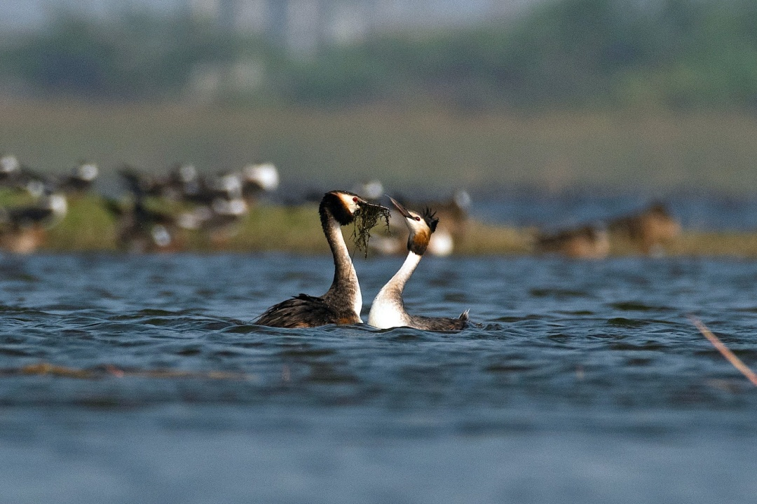 Home Affairs: The Great Crested Grebes Build a Nest
