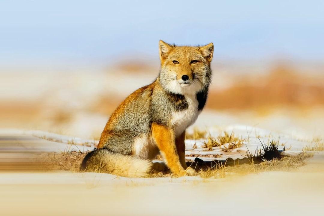 Tibetan Sand Fox: Facts, Diet, Habitat