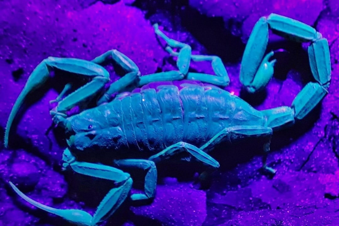 A Spotlight on the Scorpions of the Western Ghats