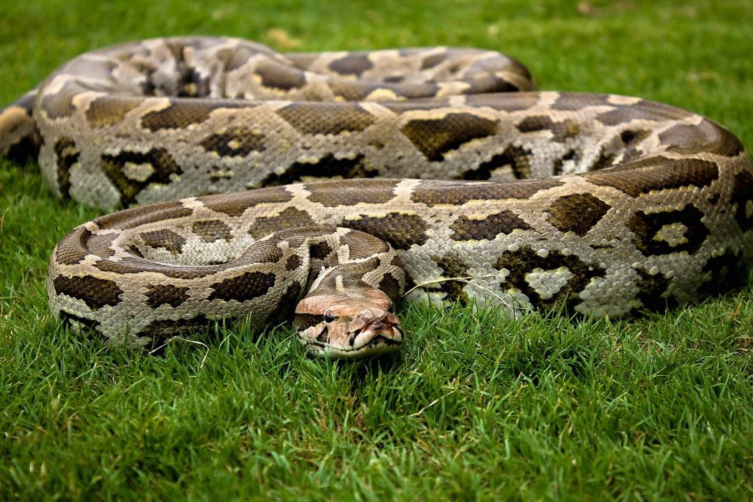 Indian Rock Python: Facts, Diet, Habitat