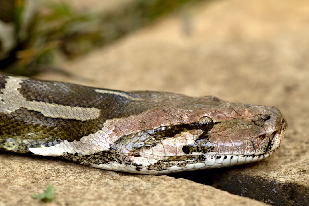 Indian Rock Python: Of Legends and Leather Bags
