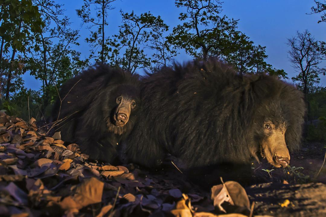 Sloth Bears: Ant Eaters of the Ursine World