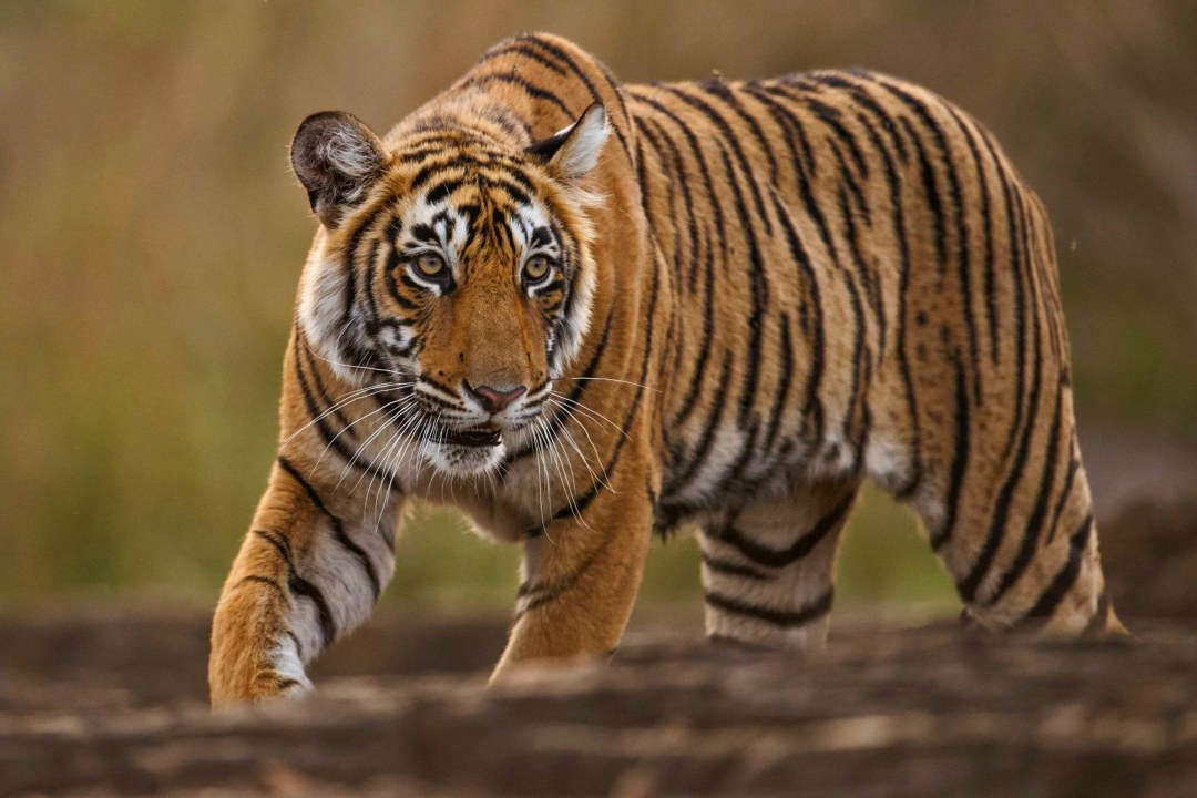 Lightning and I: Encounters with a Tigress from Ranthambore