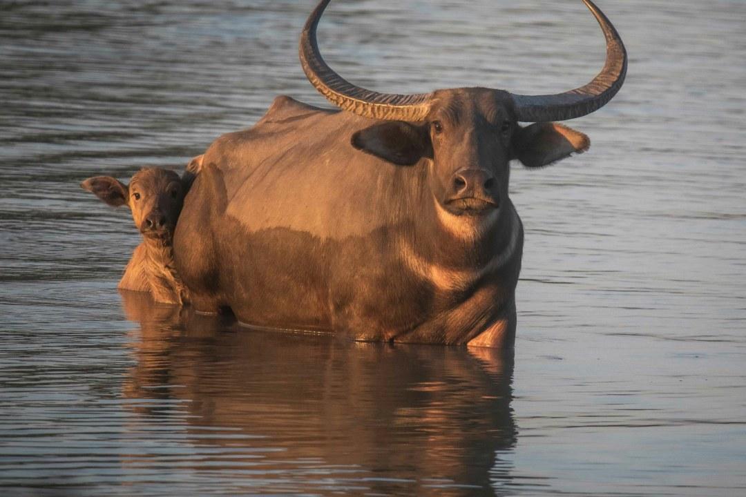 Wild Buffalo Faces Race Against Extinction in Chhattisgarh
