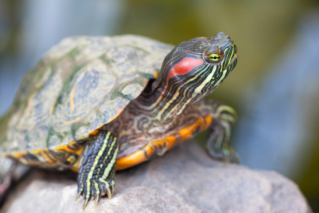 Invasive Red-eared Slider Poses Threat to Native Freshwater Turtles