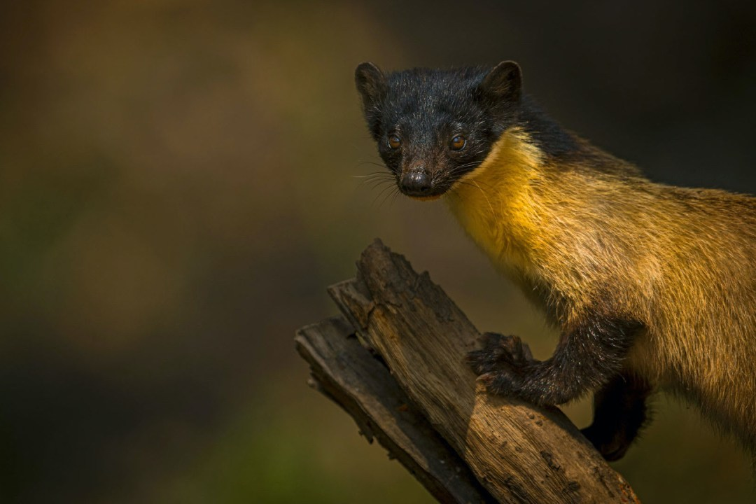 Flash in the Forest: Mysterious World of the Yellow-throated Marten