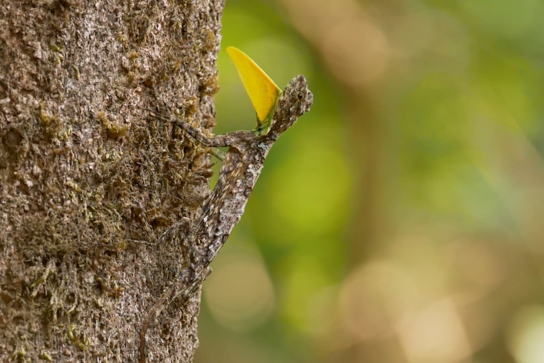 Enter the Draco: Southern Flying Lizards of Agumbe