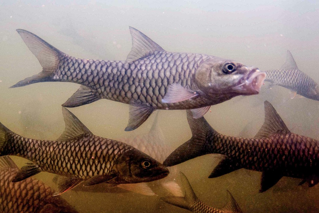 Protecting the Sacred Fish of the Cauvery