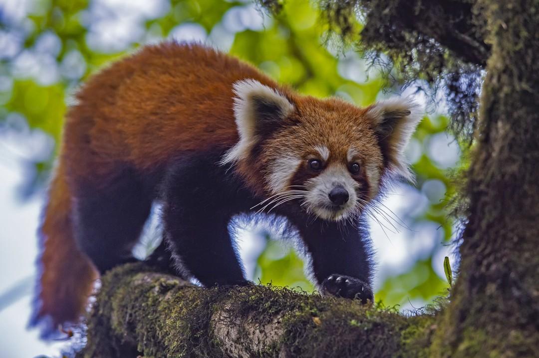 Red Panda: Vanishing Flame of the Himalayas