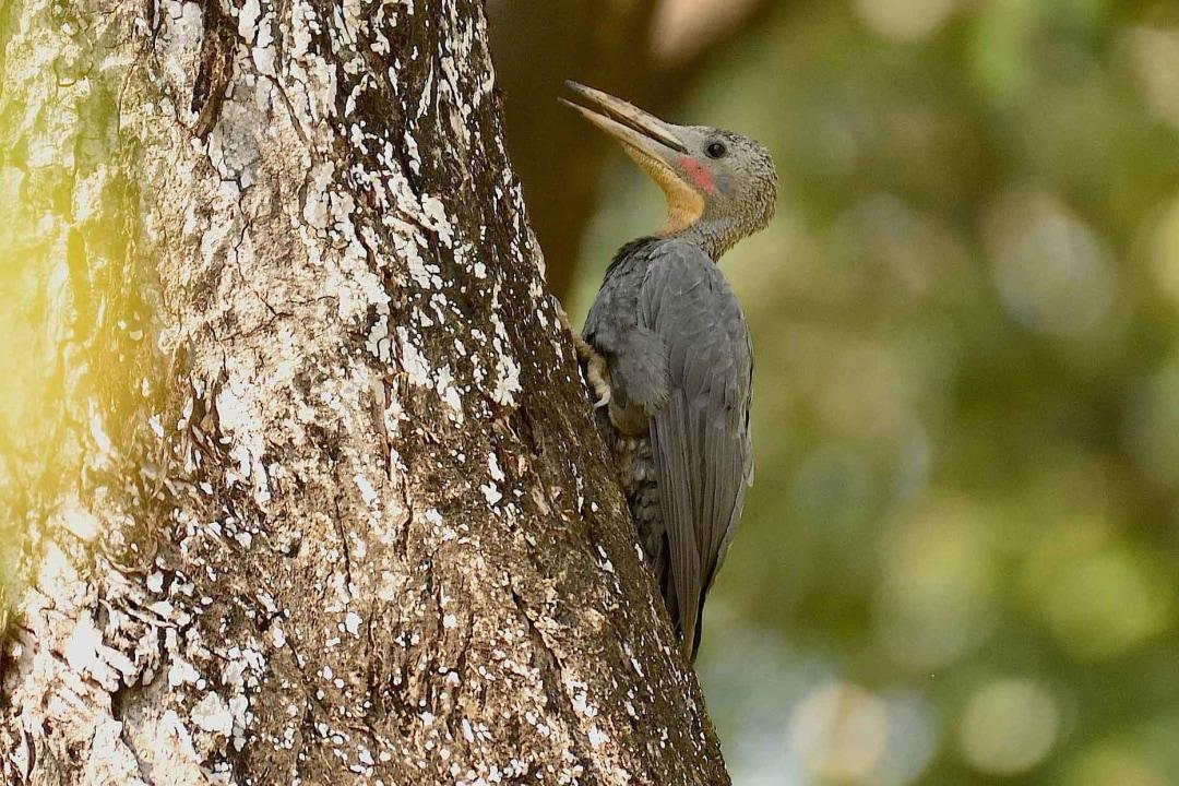 Serial Drillers: Great Slaty Woodpeckers as Community Cavity Creators