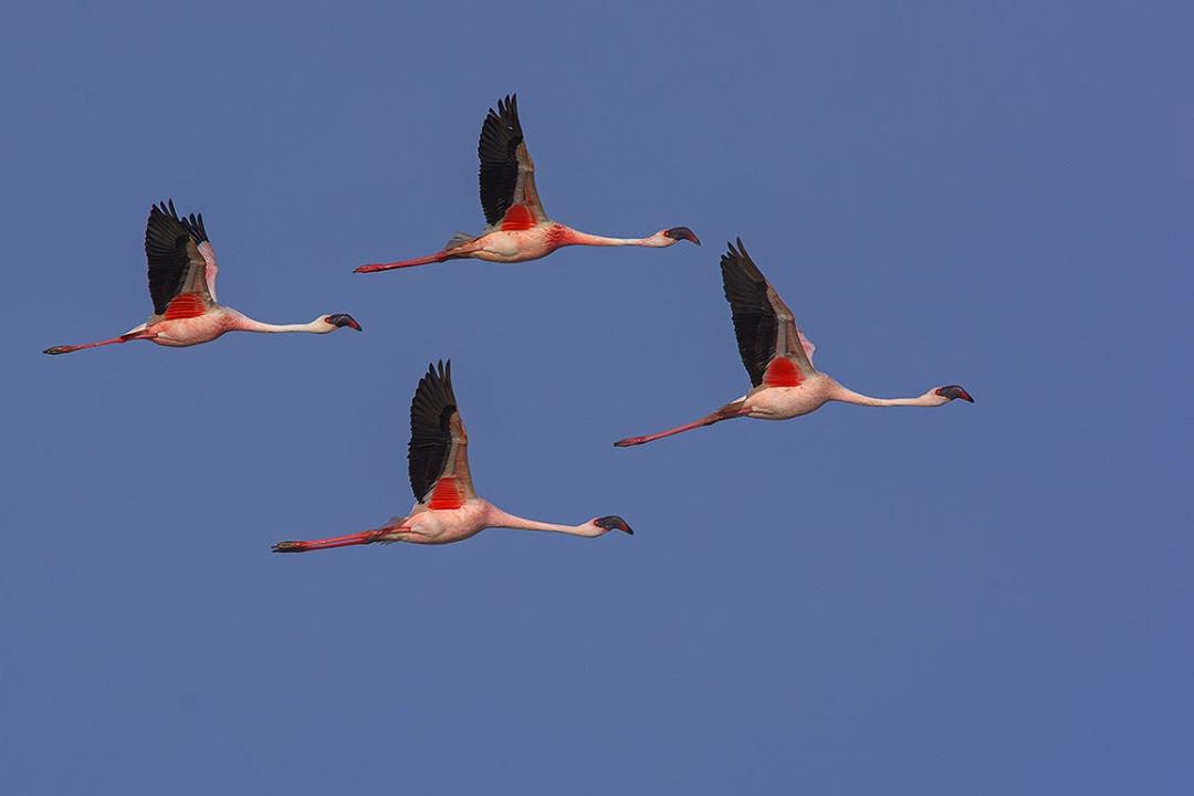 Lesser Flamingo: Facts, Habitat, Threats