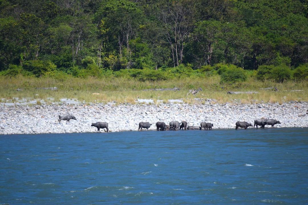 Future in Jeopardy: The Wild Water Buffalo in Assam