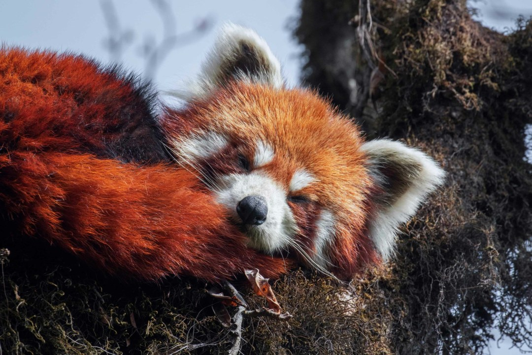Red Panda: Under the Radar in Singalila