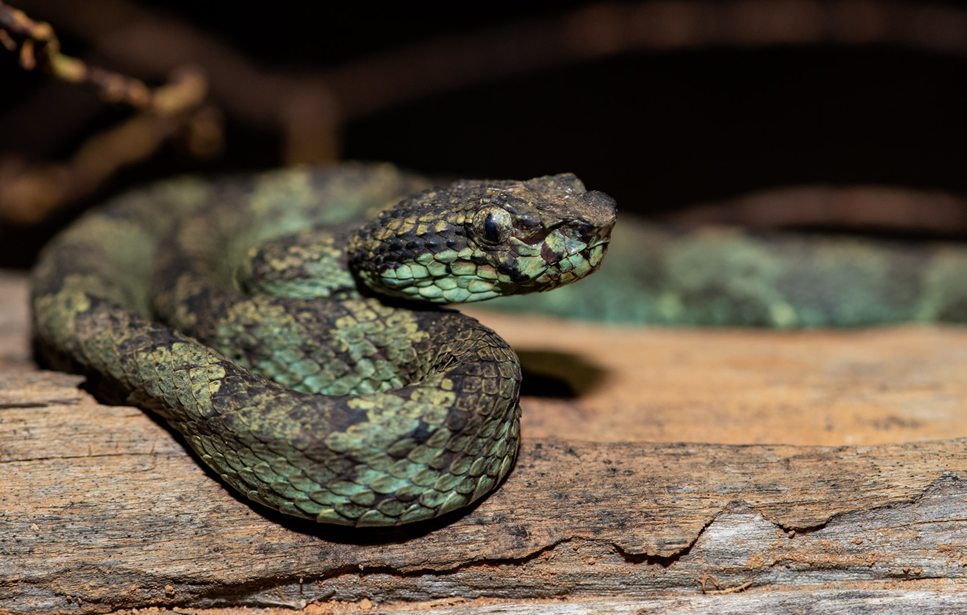 Malabar Pit Viper: Ambush in the Well of Life and Death