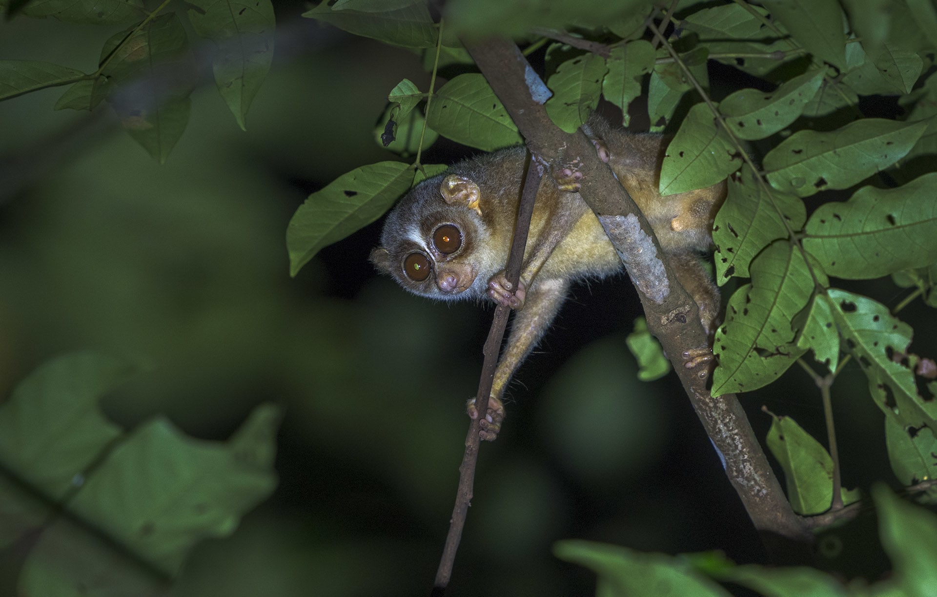 Baby of the Forest: In Search of the Malabar Grey Slender Loris