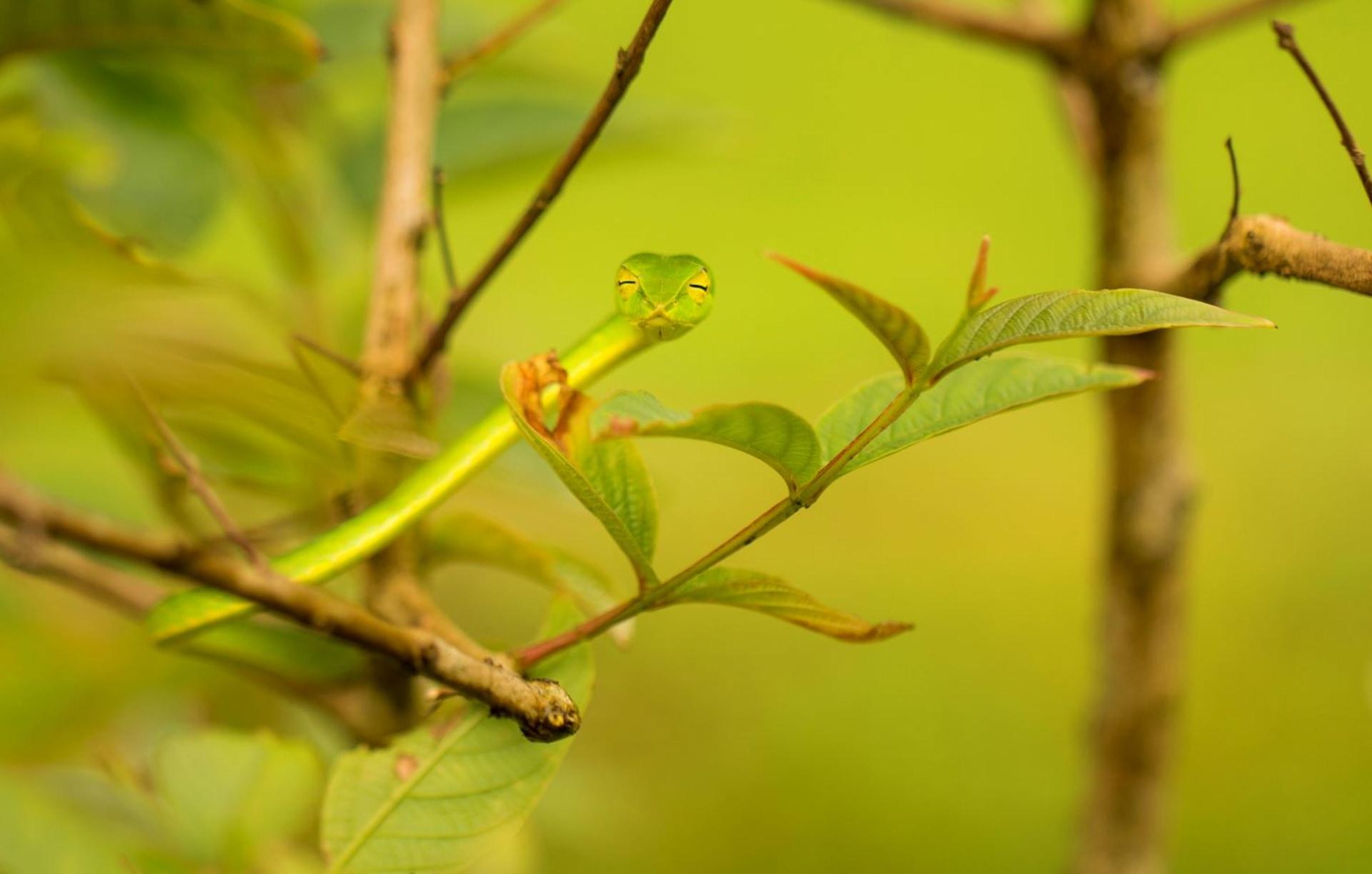 Leaf Masquerade of the Green Vine Snake