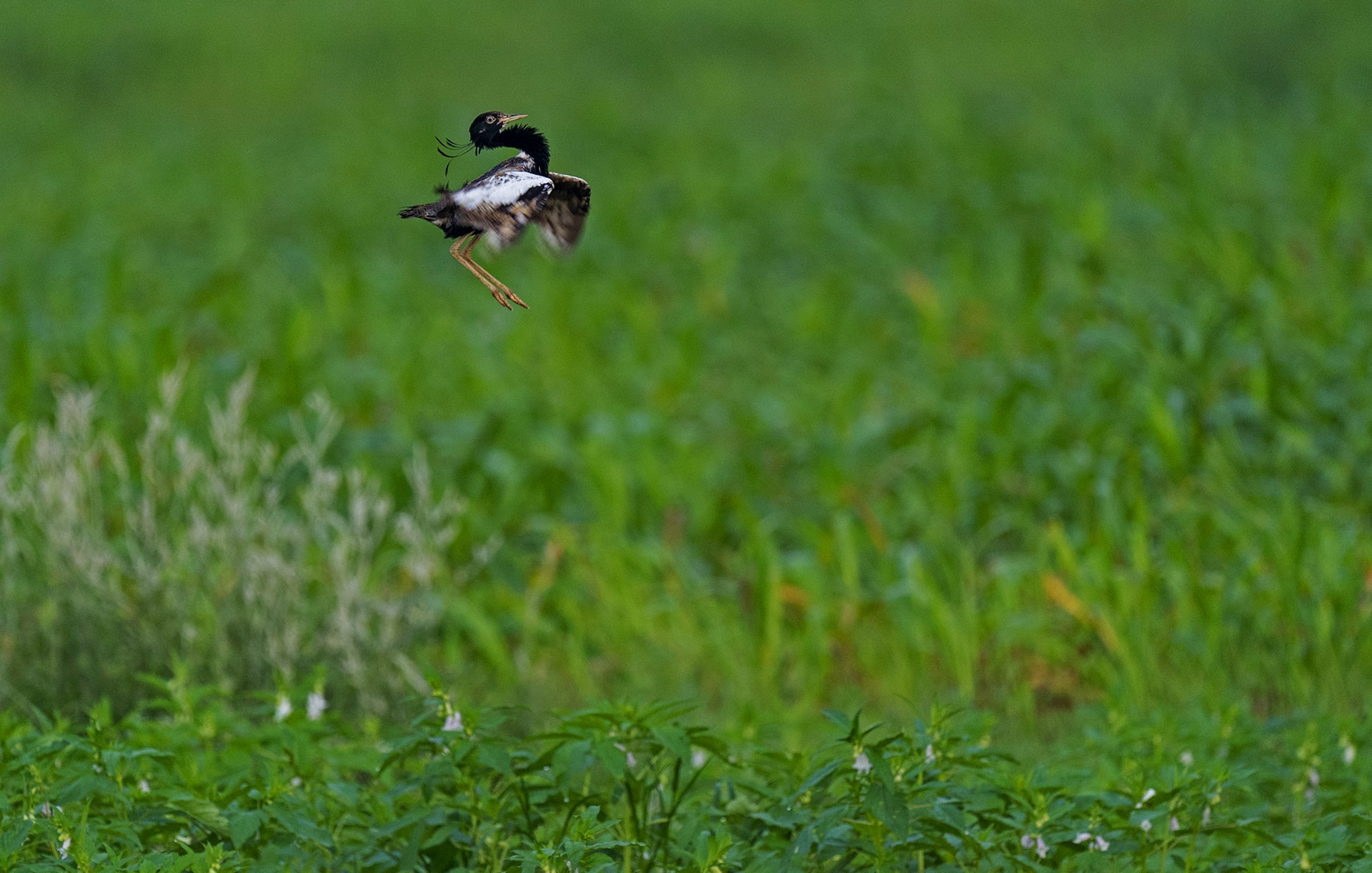 Is the Lesser Florican Jumping to Extinction?